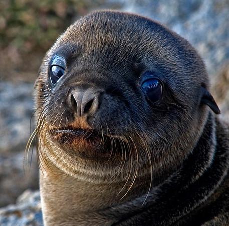 Sea Lion Pup (Zalophus wollebaeki), Galapagos Islands