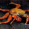 Sally Lightfoot Crab, Galapagos Islands (Grapsus grapsus)