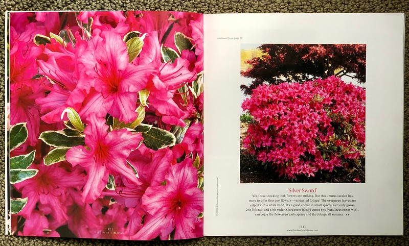 Garden Gate BLOOMS special edition May 2015 images of Azalea 'Silver Sword'