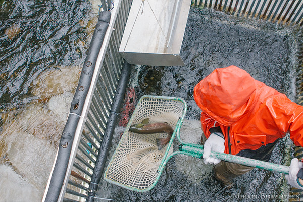 Fishery biologist netting a sockeye salmon