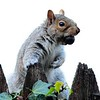 Gimp Squirrel