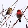 House Finch (fore), Goldfinch (rear)