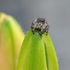 spider on asiatic lily bud