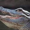Alligator_05