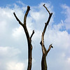 Dead_Tree_with_Pigeon