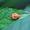 Lady Bug Pupa on Mint Leaf