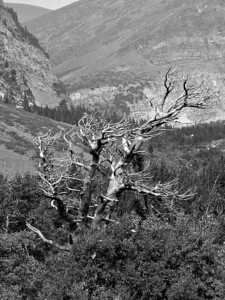 Lone Tree - Glacier Nat Park