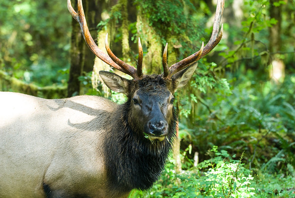 Roosevelt Elk will regain over 800 acres of bottom land grazing habitat at former Lake Mills and Aldwell sites.