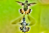 Hummingbird Fight