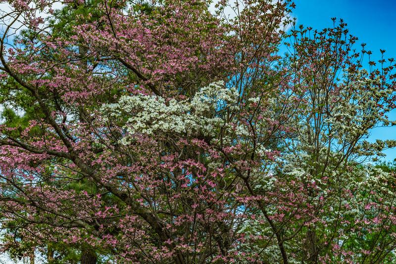 Domesticated Pink Dogwood Tree