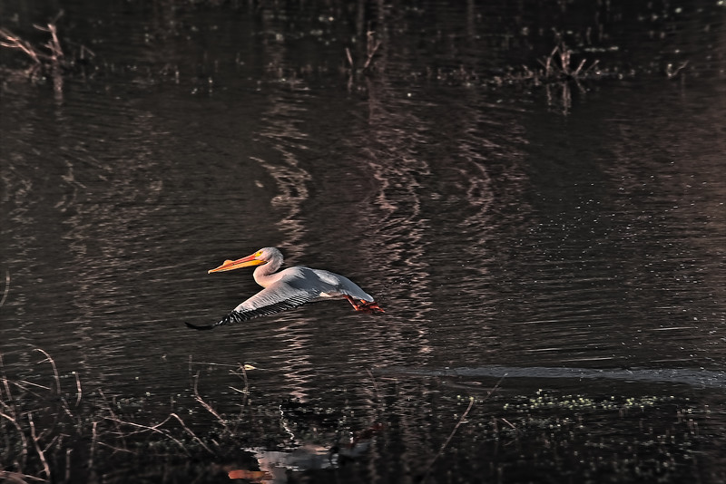White Pelican into the Air