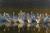 Morning Sunlight on American White Pelicans