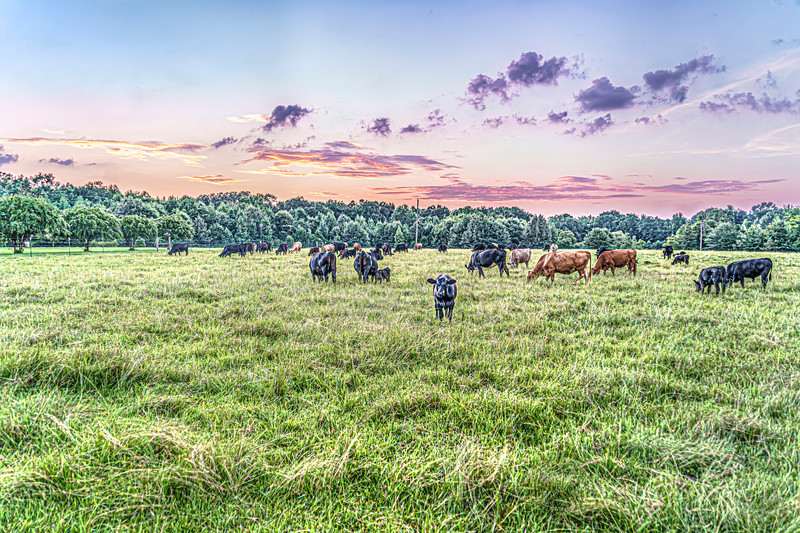 Evening in a Pasture