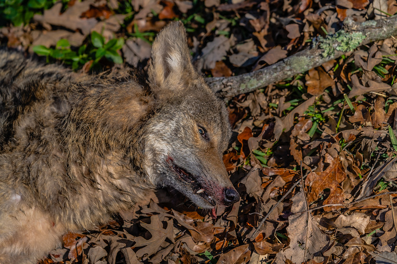 Rarely Seen Coyote