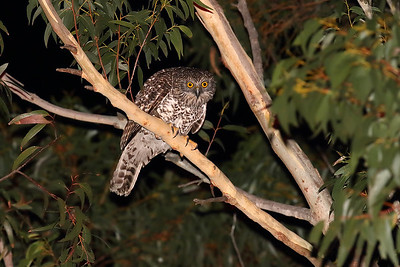 Powerful Owl (Ninox strenua) hunting