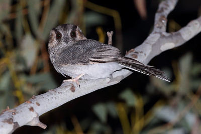 Australian Owlet-Nightjar (Aegotheles cristatus) also known as the Moth Bird