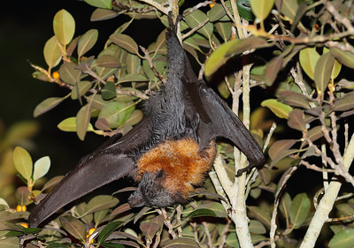 Grey-Headed Flying Fox (Pteropus poliocephalus) adult reaching for food