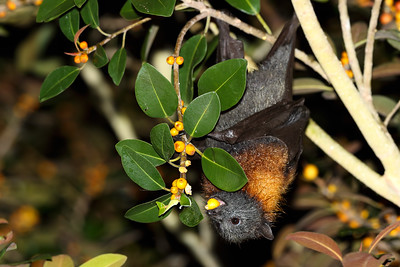 Grey-Headed Flying Fox (Pteropus poliocephalus) feeding on Port Jackson figs