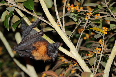 Grey-Headed Flying Fox (Pteropus poliocephalus) moving through the Port Jackson fig at night