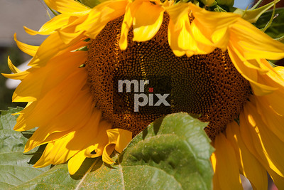 joni's sunflower