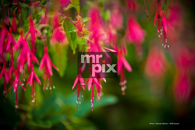 HARDY FUCHSIAS, Lucky you! this images is for sale. please let me know you'd like it. thanks so much! -michael Mrpix