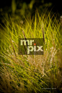 Wild Grass - Image is for sale