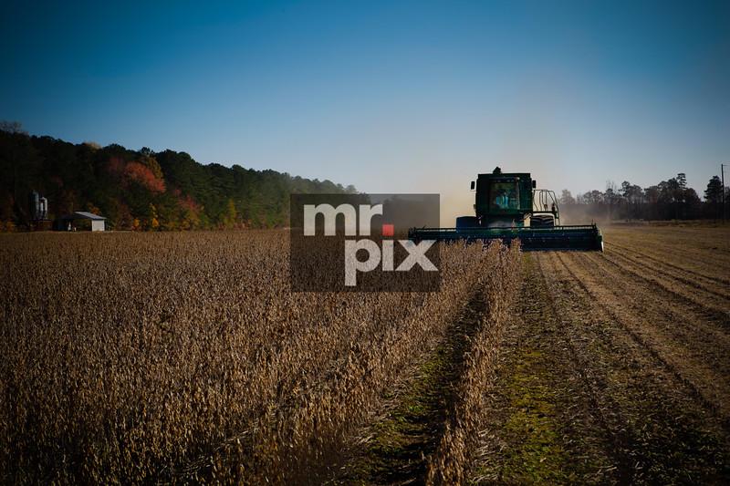 Sawgrass harvest.