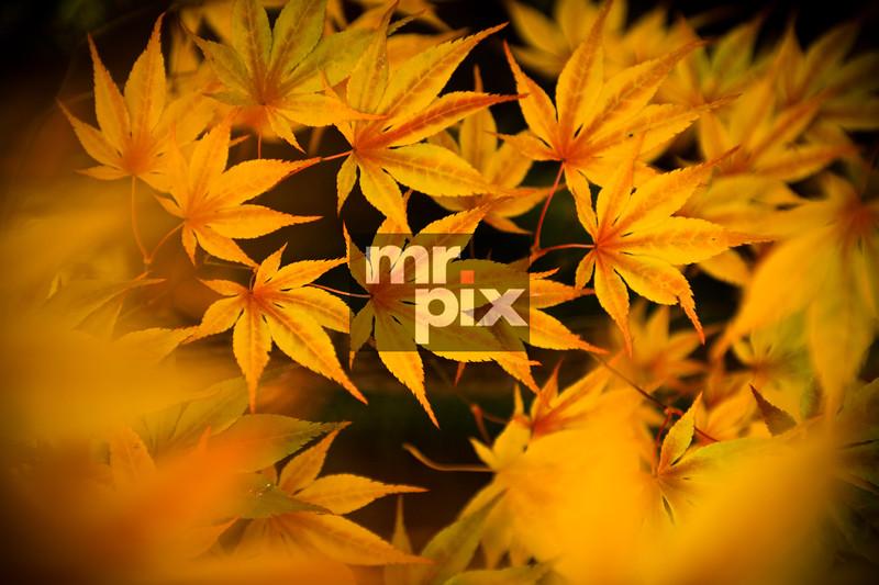 Japanese Maple - Fall