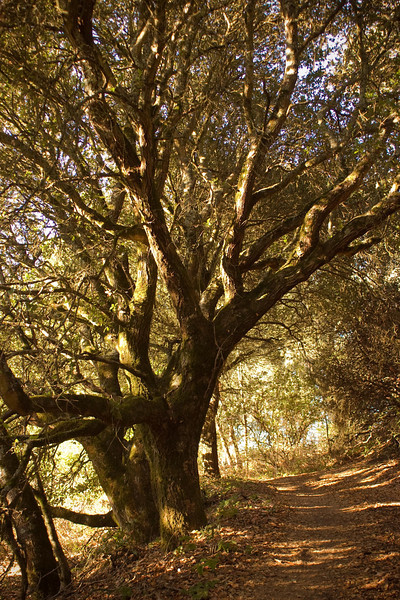 Hobbit tree in Redwood Park, Oakland, CA