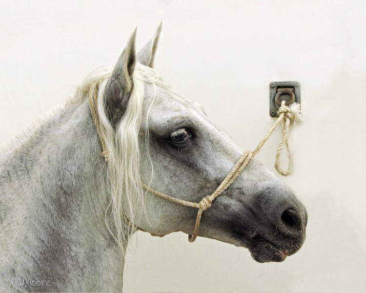 Salvadore's Stallion