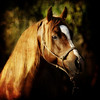 "<center>Light Amongst the Shadows<center> <center>By Anita Jesse<center> <img alt=""golden chestnut Arabian stallion portrait by Anita Jesse"">"