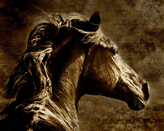 "<center>Every Inch a King</center> <center>By Anita Jesse</center> <img alt=""running black Arabian gelding profile in sepia by Anita Jesse"">"