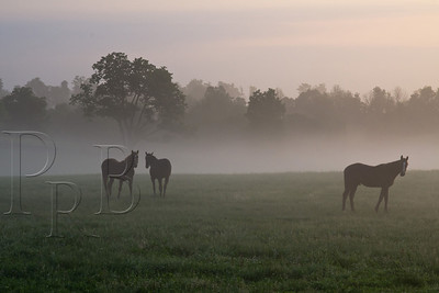 Yearlings in the Morning Mist