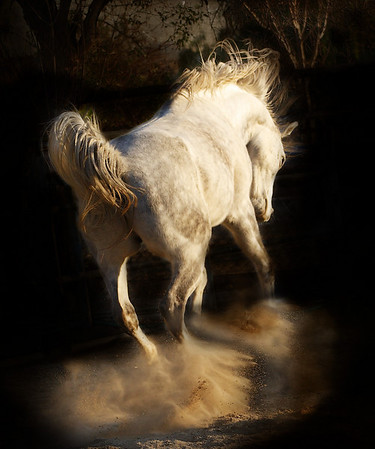 "<center>A Cloud of Dust</center> <center>By Anita Jesse</center> <img alt=""gray Arabian gelding bucking seen from behind by Anita Jesse"">"