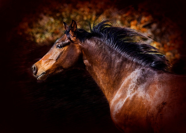 "<center>Autumn Splendor</center> <center>By Anita Jesse</center> <img alt=""running bay Arabian horse portrait by Anita Jesse"">"