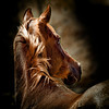 "<center>Lost in Thought</center> <center>By Anita Jesse</center> <img alt=""portrait chestnut Arabian horse look back over shoulder by Anita Jesse"">"