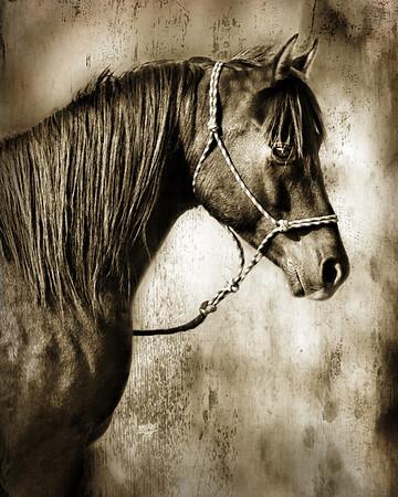 "<center>Eclipse-A Velvet Darkness</center> <center>By Anita Jesse</center> <img alt=""black Arabian horse portrait sepia by Anita Jesse"">"