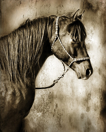 "<center>Eclipse-A Velvet Darkness</center> <center>By Anita Jesse</center> <img alt=""black Arabian horse portrait sepia by Anita Jesse"">"