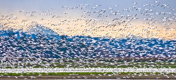 Skagit Snow Geese, Washington