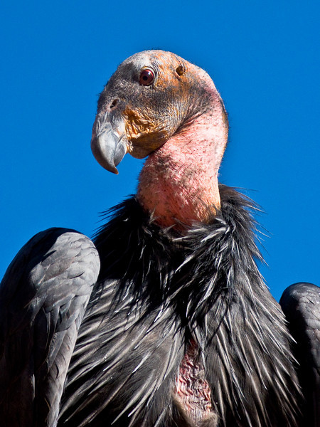 California Condor, Zion National Park, Utah