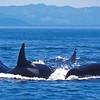 Orcas, Strait of Juan de Fuca