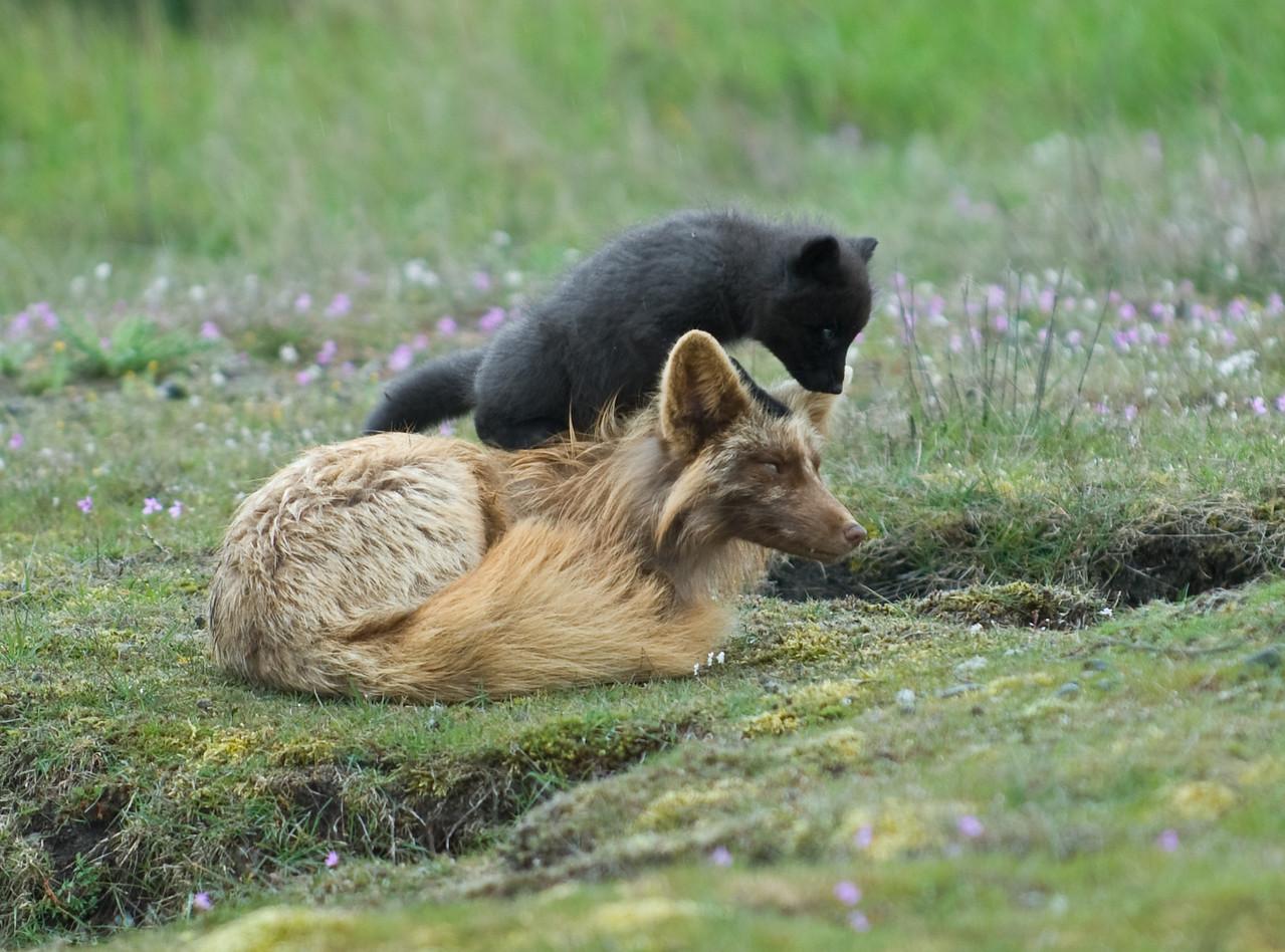 Fox Kit and Mother, San Juan Island, Washington