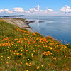 Poppies and Cattle Point, San Juan Island