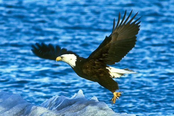 Bald Eagle and Ice, Glacier Bay, Alaska