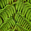 Fern Detail, Costa Rica