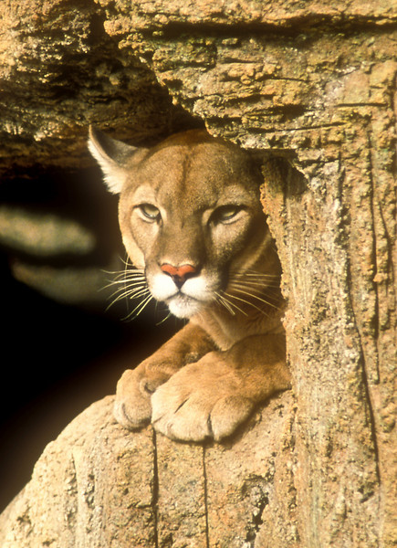 Cougar, Arizona