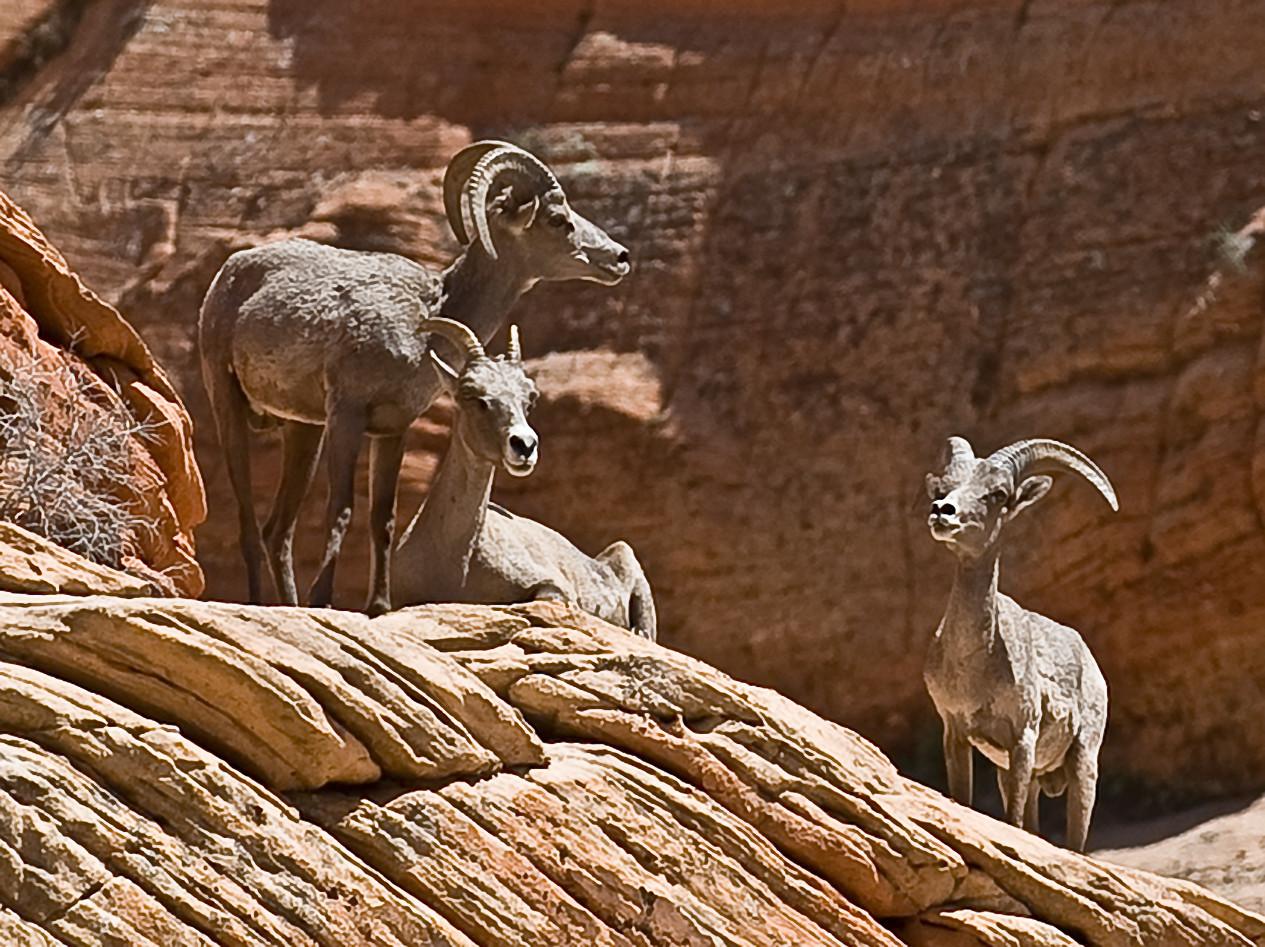 Desert Bighorn Sheep, Zion National Park, Utah