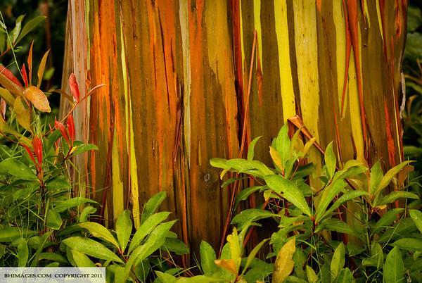 Rainbow Eucalyptus, Hana, Maui, Hawaii