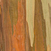 Eucalyptus_Bark_Nov242016_0041