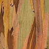 Eucalyptus_Bark_Nov242016_0035
